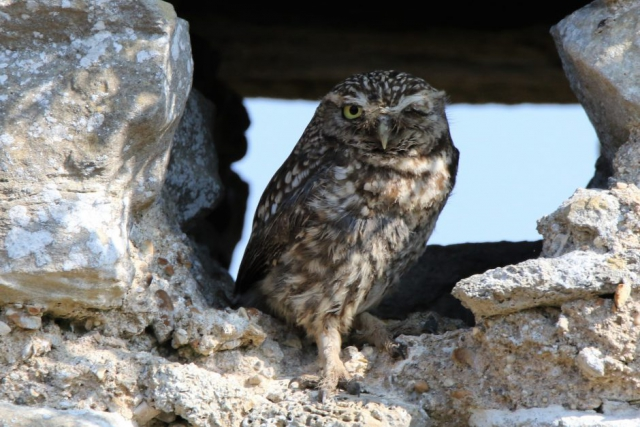 Little Owl by Andy Tew - July 5th, St Leonards