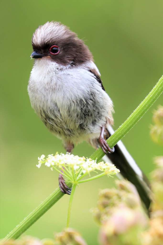 Long-tailed Tit by Brian Cartwright - July 4th, Anton Lakes