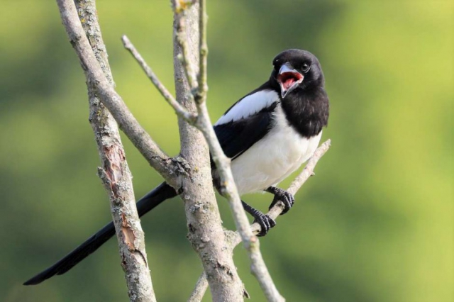 Magpie by Brian Cartwright - June 28th, Anton Lakes