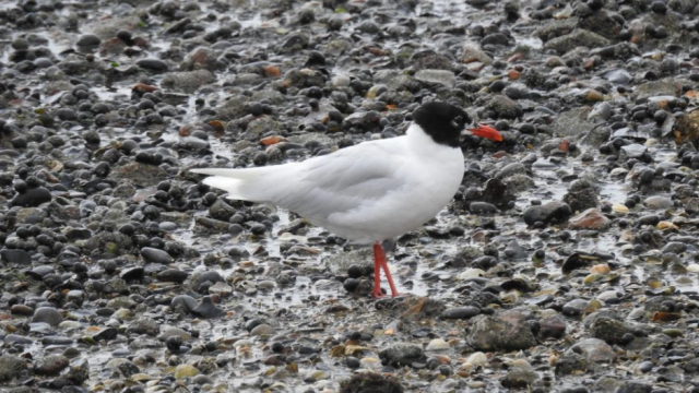 Mediterranean Gull by Dave Aburrow - July 27th, Hamble