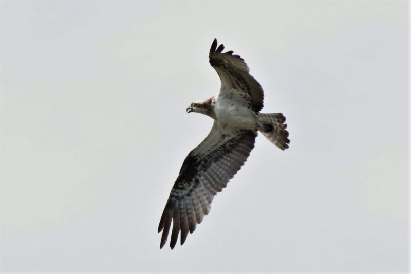 Osprey by Andy Tew - July 26th, Fishlake Meadows