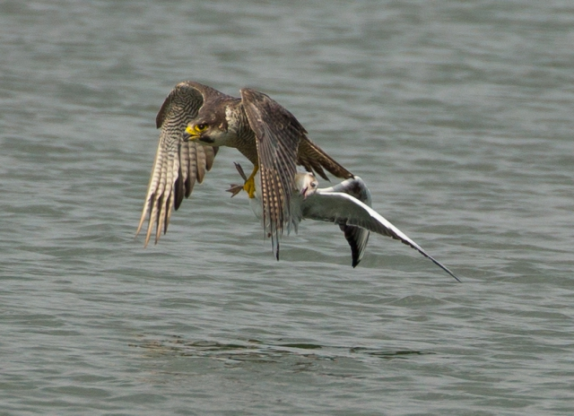 Peregrine, Black-headed Gull by David Cuddon - July 18th, Blashford Lakes