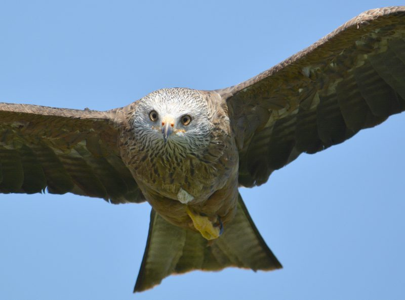 Red Kite by Dave Levy - July 9th, Basingstoke