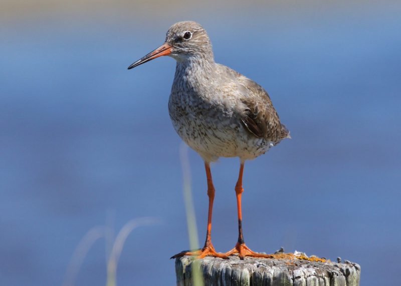 Redshank by Martin Bennett - July 24th, Pennington Marshes
