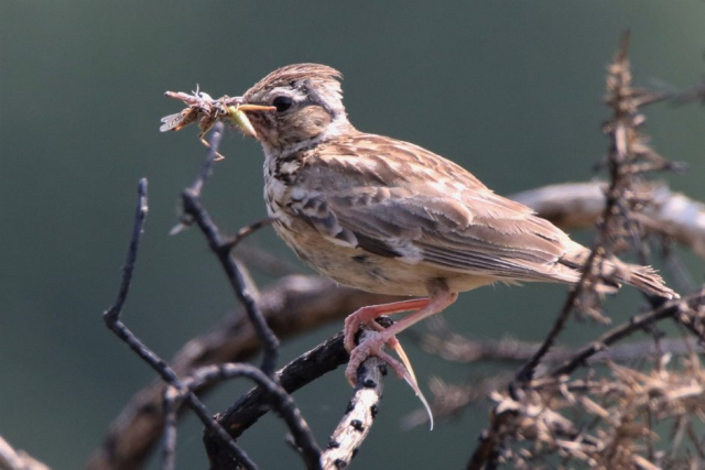 Woodlark by Andy Tew - July 9th, Cadnam