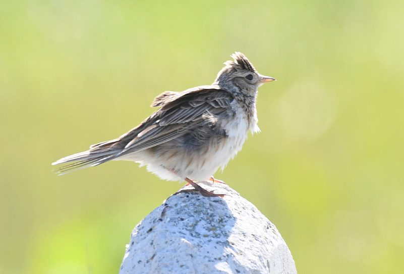 Skylark by Dave Levy - July 25th, Martin Down