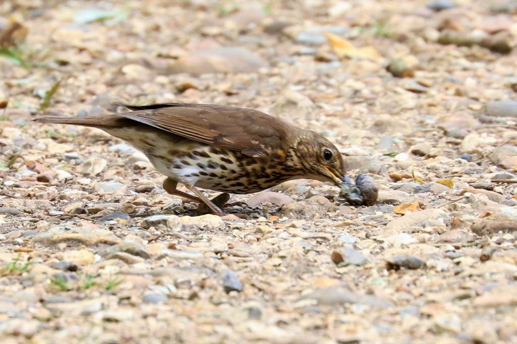 Song Thrush by Brian Cartwright - July 4th, Anton Lakes