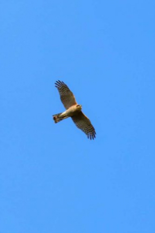 Sparrowhawk by Brian Cartwright - July 2nd, Anton Lakes