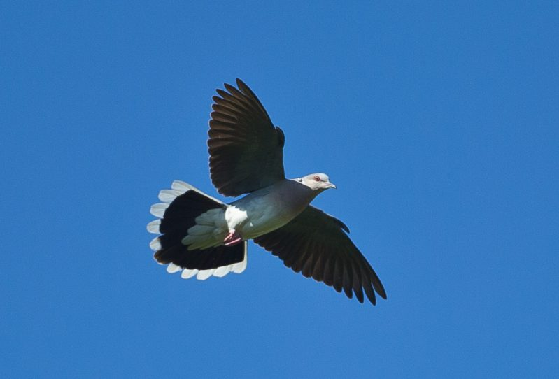 Turtle Dove by David Cuddon - June 26th, Martin Down