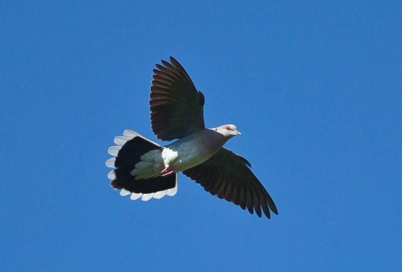 Turtle Dove by David Cuddon - June 26th, Martin Down