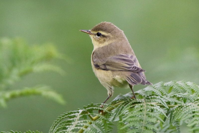 Willow Warbler by Andy Tew - July 17th, Cadnam