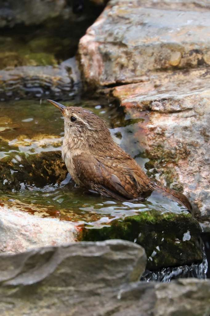 Wren by Brian Cartwright - July 4th, Anton Lakes