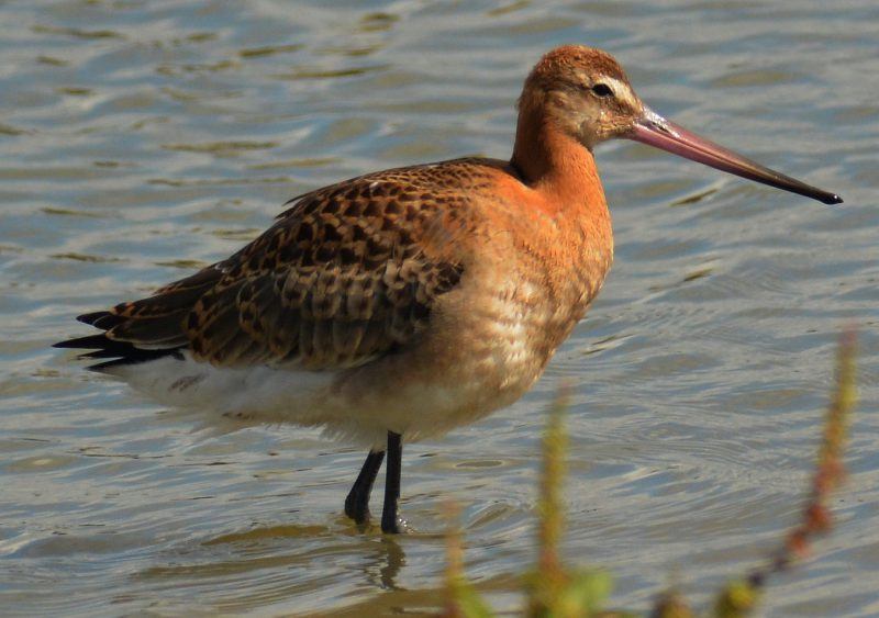 lack Tailed Godwit by Dave Levy - Jul 31st, Titchfield Haven