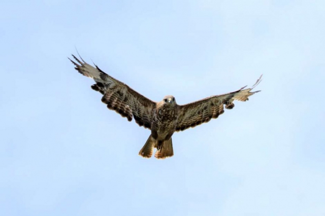 Buzzard by Brian Cartwright - Aug 5th, Anton Lake