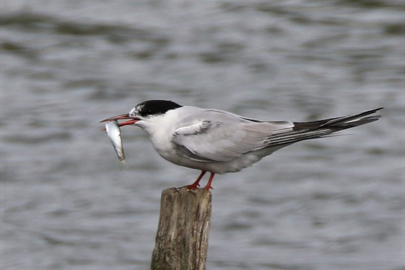 Common Tern by Andy Tew - Aug 24th, Hill Head