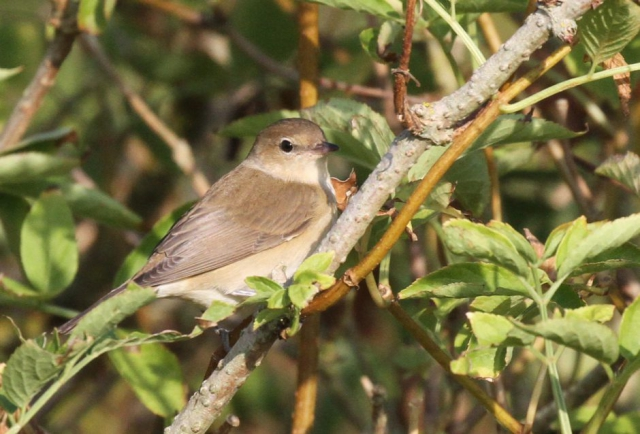 Garden Warbler by Bob Marchant - Aug 7th, Hook with Warsash
