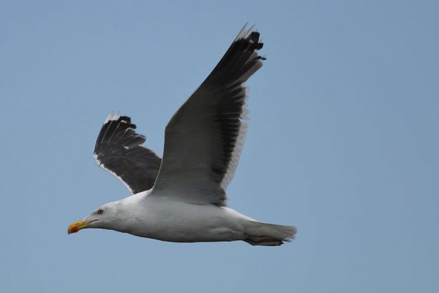 Great Black-backed Gull by David Cuddon - Aug 14th, Pennington Marshes