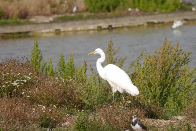 Great White Egret by John Shillitoe - Aug 29th, Titchfield Haven