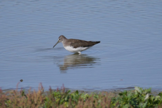 Green Sandpiper by John Shillitoe - Aug 1st, Titchfield Haven
