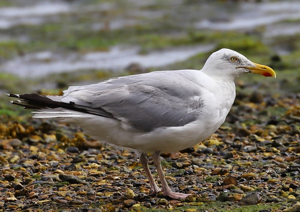 Herring Gull by David Cuddon - Aug 11th, Milford on Sea