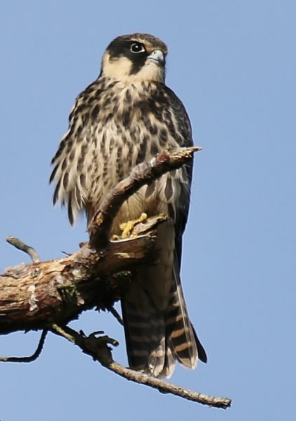 Hobby by Terry Jenvey - Aug 30th, Hampshire