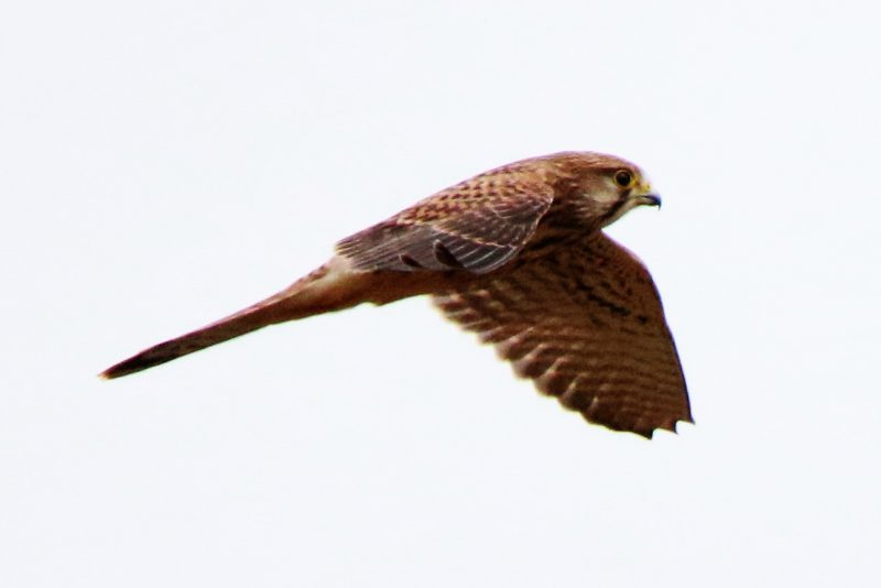 Kestrel by Andy Tew - Aug 11th, Warsash