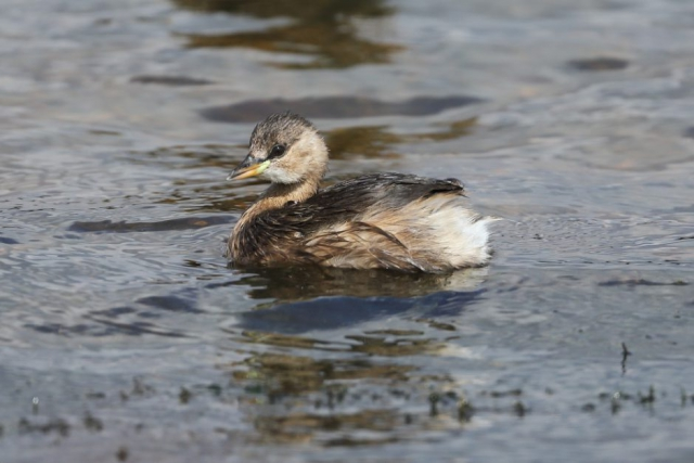 Little Grebe by David Cuddon - Aug 13th, Blashford Lakes