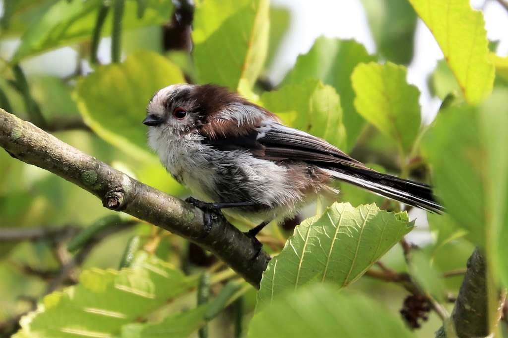 Long-tailed Tit by Brian Cartwright - Aug 23rd, Anton Lakes