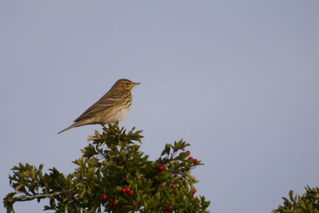 Meadow Pipit by John Shillitoe - Aug 30th, Old Winchester Hill