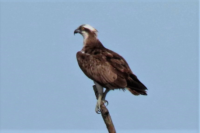 Osprey by Andy Tew - Aug 17th, Fishlake Meadows