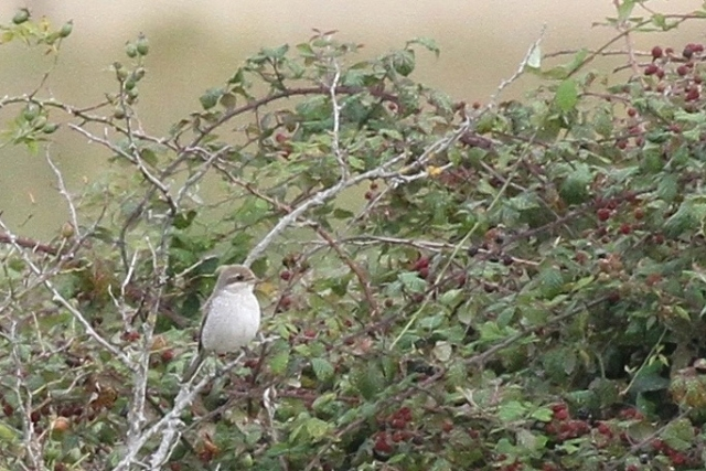 Red-backed Shrike by Bob Marchant - Aug 27th, Hook-with-Warsash