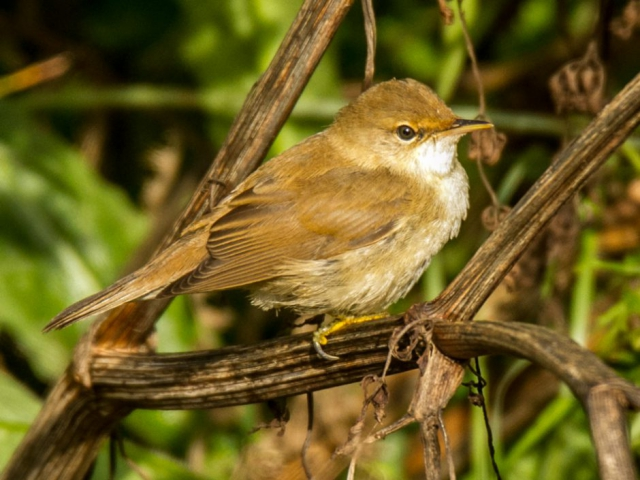 Reed Warbler by Mike Duffy - Aug 17th, Keyhaven