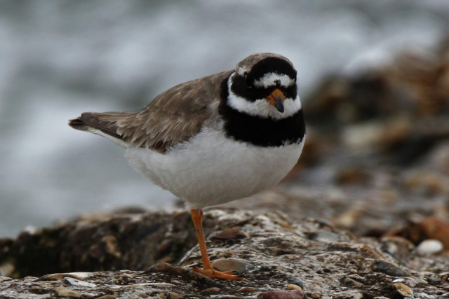 Ringed Plover by Andy Tew - Aug 24th, Hill Head