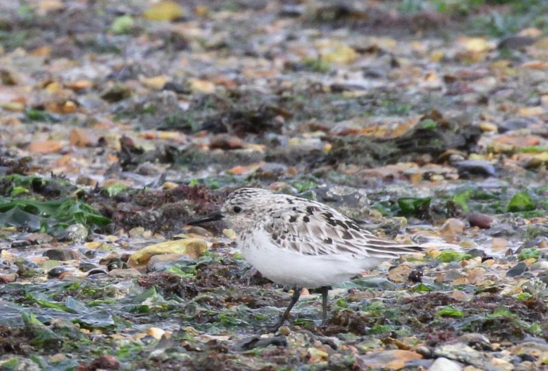 Sanderling by Bob Marchant - Jul 31st, Hook with Warsash