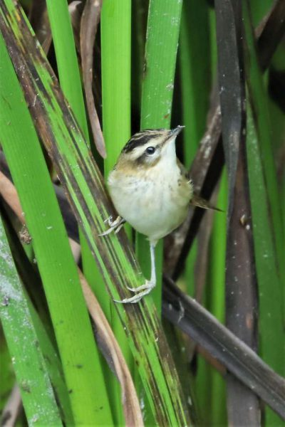 Sedge Warbler by Brian Cartwright - Aug 26th, Anton Lakes