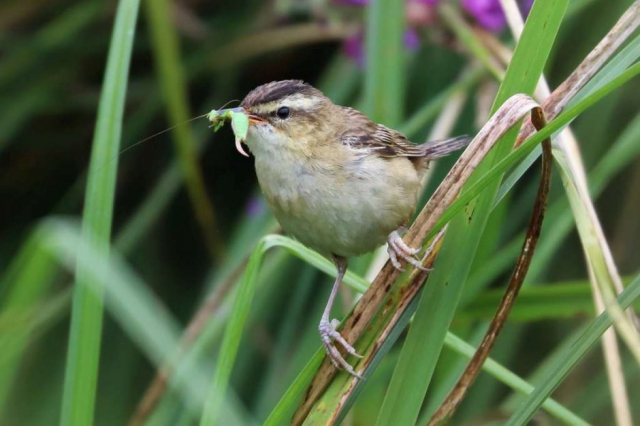 Sedge Warbler by Brian Cartwright - Aug 8th, Stockbridge