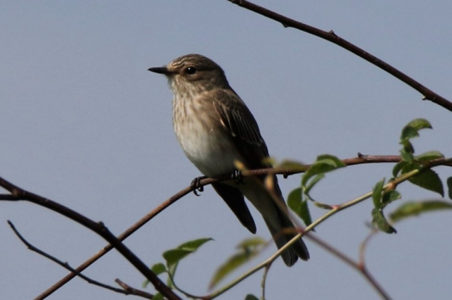 Spotted Flycatcher by Andy Tew - Aug 29th, Lower Test Marshes