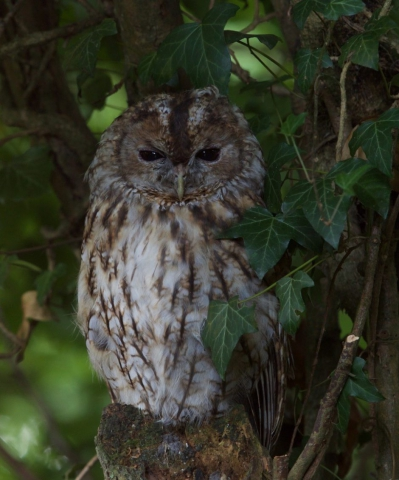 Tawny Owl by Martin Bennett - Aug 13th, Furze Hill