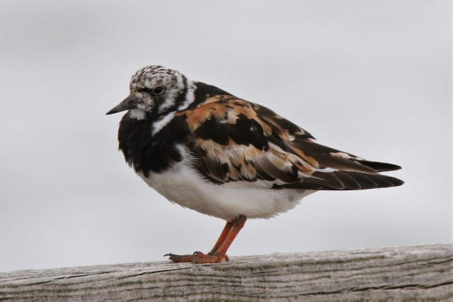 Turnstone by Andy Tew - Aug 24th, Hill Head