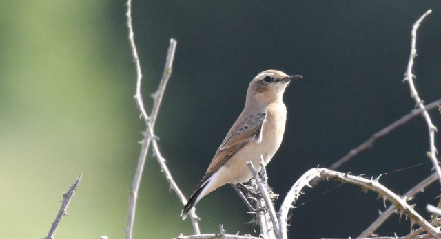 Wheatear by Bob Marchant - Aug 7th, Hook with Warsash