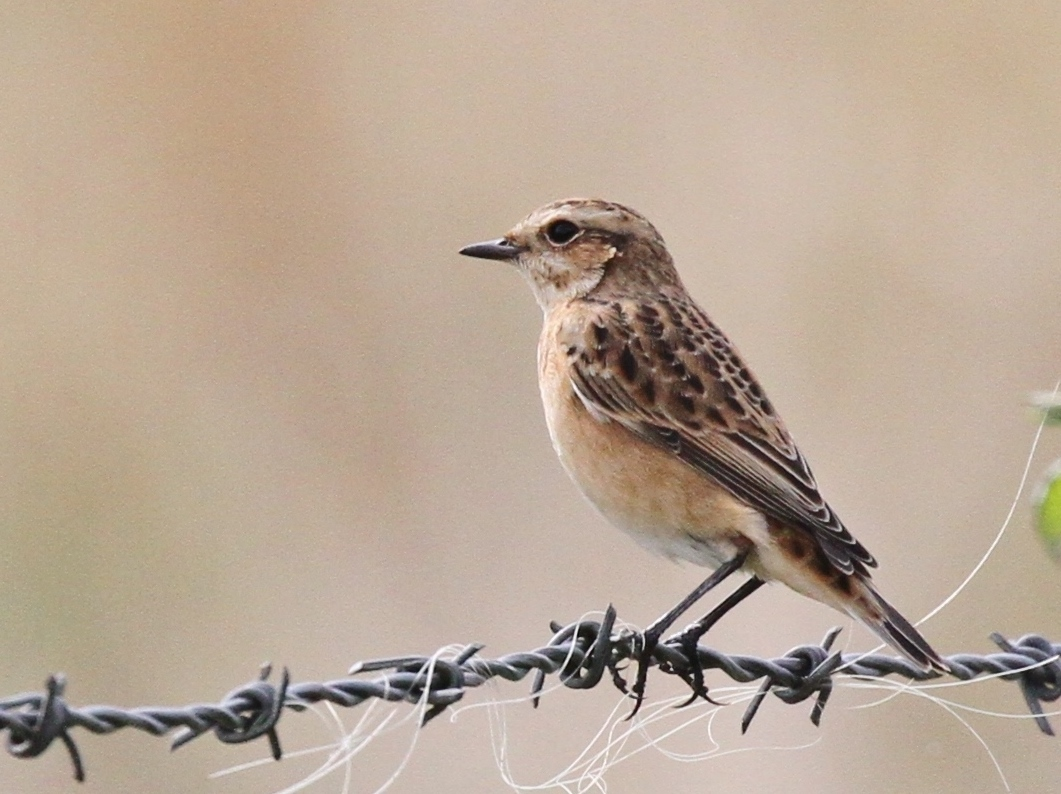 Whinchat by Red-backed Shrike by Bob Marchant - Aug 27th, Hook-with-Warsash