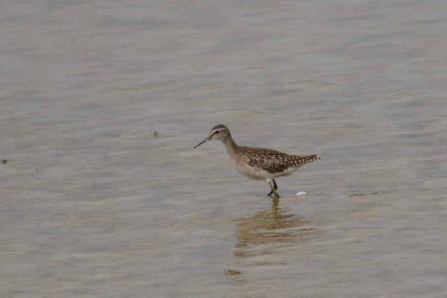 Wood Sandpiper by John Shillitoe - Aug 15th, Titchfield Haven