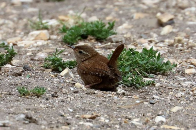 Wren by Brian Cartwright - Aug 8th, Anton Lake