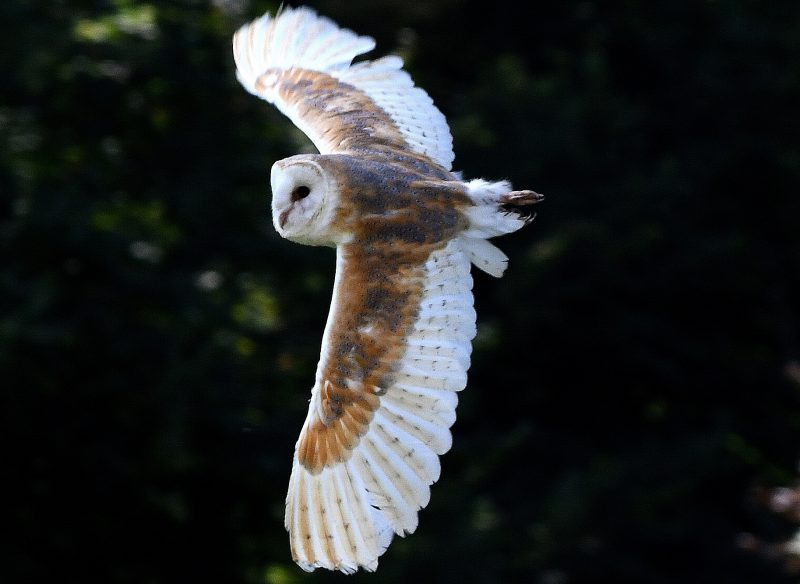 Barn Owl by Dave Levy - Sep 10th, Alton
