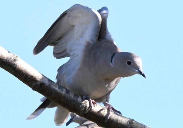 Collared Dove by Dave Levy, Sep 26th, Titchfield Haven