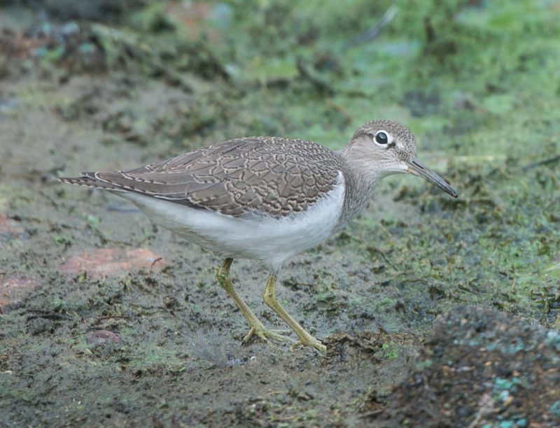 Common Sandpiper by John Wichall - Sep 1st, Blashford Lakes