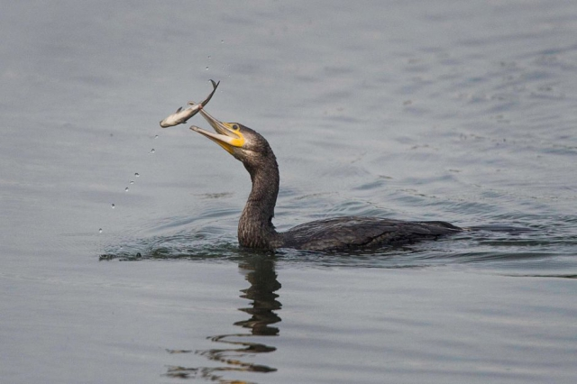 Cormorant by John Wichall - Sep 1st, Blashford Lakes