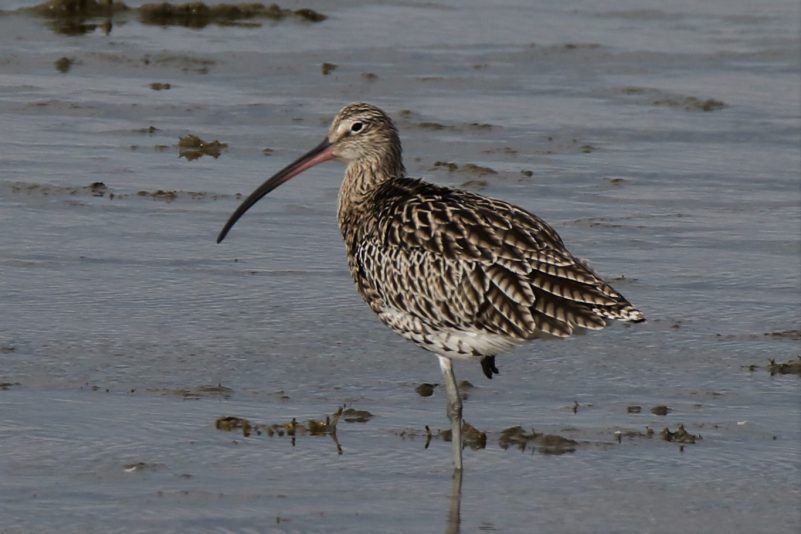 Curlew by Andy Tew - Sep 16th, Pennington Marshes