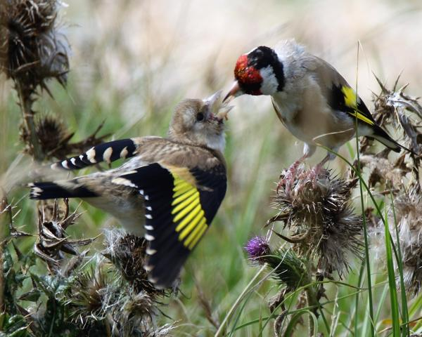 Goldfinch by Andy Tew - Sep 1st, Lower Test Marshes