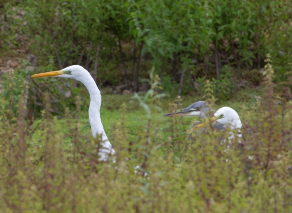 Great White Egret and Grey Heron by David Cuddon - Sep 16th, Blashford Lakes